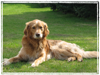 English Setter Golden Retriever Mix http://www.hohner-sheltie.de/meine_freunde.html